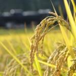 玄米の効能、栄養、メリット