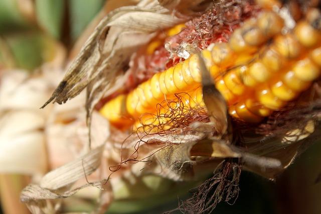 corn-970025_640