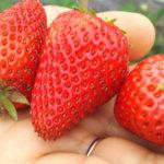 自然栽培(無農薬・無肥料)の美味しくて安全なイチゴ