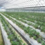 どのようにして自然栽培のイチゴはできたのか?