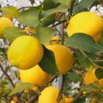 皮まで食べられる健康にいい完全無農薬レモン