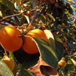 【レシピ】柿の葉茶を手作りで作る方法