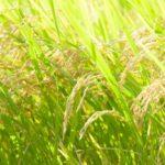 自然栽培「無農薬・無肥料」お米の栽培の秘訣