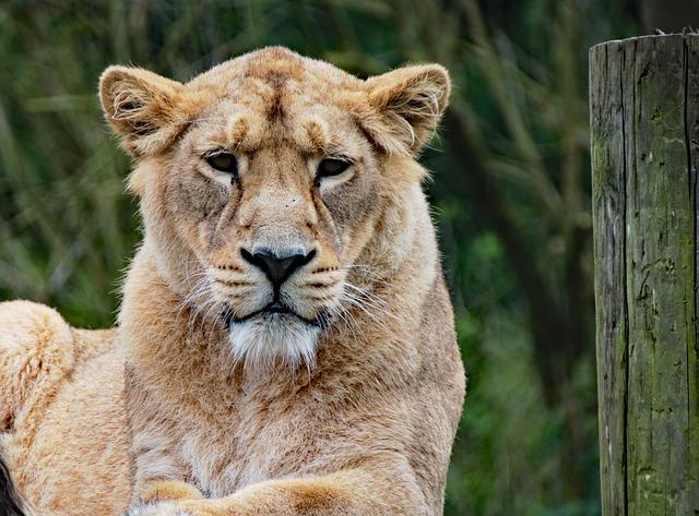 lioness-1582931_640