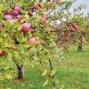「自然栽培」土が人を育てる 「奇跡のリンゴ」木村秋則氏