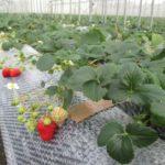病気に打ち勝つ自然栽培イチゴたち