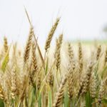 遺伝子組み換えで小麦をやるにあたって日本がターゲットである