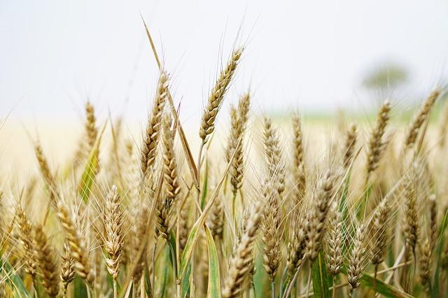 wheat-1556700_640