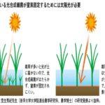 光合成細菌が生物多様な田んぼを育む【栽培を科学する】