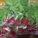 無肥料で何度でもできる自然栽培ラディッシュ