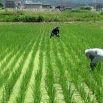 自然栽培の無肥料無農薬は入口にすぎない【田んぼの雑草コナギ編】