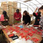 自然栽培イチゴの技術の伝承「もう一人の自然栽培イチゴ農家」